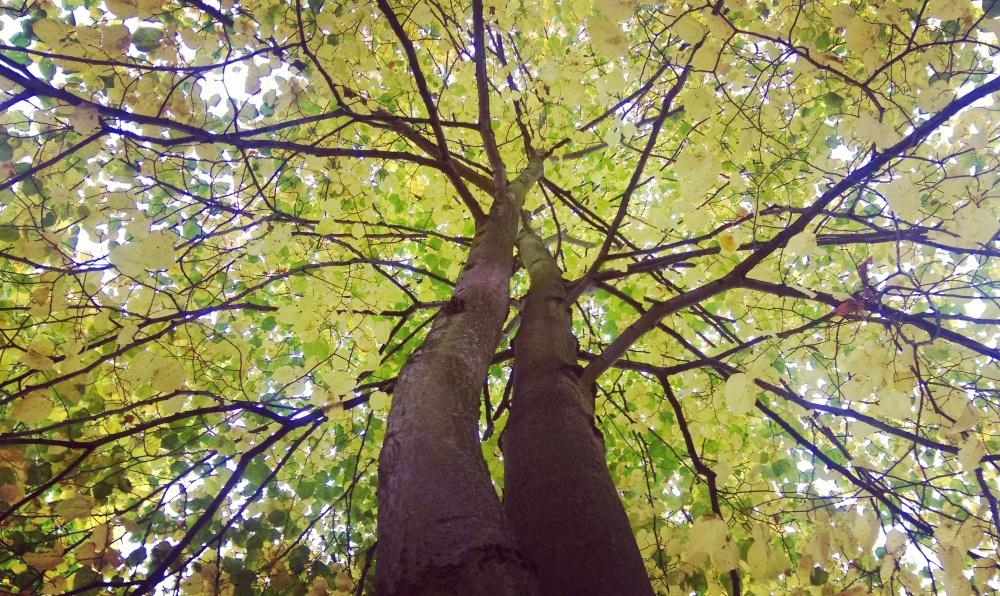 trees golden autumn fall.jpeg