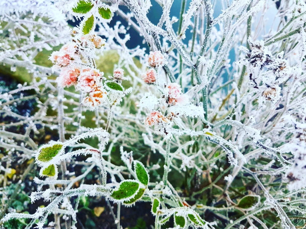 fragile-frosty-flowers-beautiful-nature